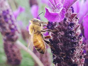 lavender honey bee